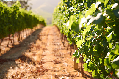 Buy stock photo Shot of an empty vineyard on a sunny day