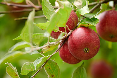 Buy stock photo A photo of taste and beautiful red applesFresh apples in natural setting