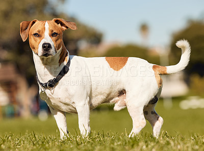 Buy stock photo Full length shot of an adorable young Jack Russell standing outside on a field