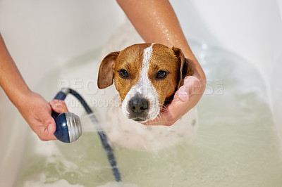Buy stock photo High angle shot of an adorable young Jack Russell being washed by his unrecognizable owner in the bath at home
