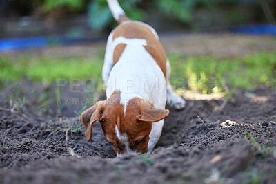 Buy stock photo Full length shot of an adorable young Jack Russell digging a hole in the ground outside