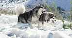 Malamutes are the real snow angels